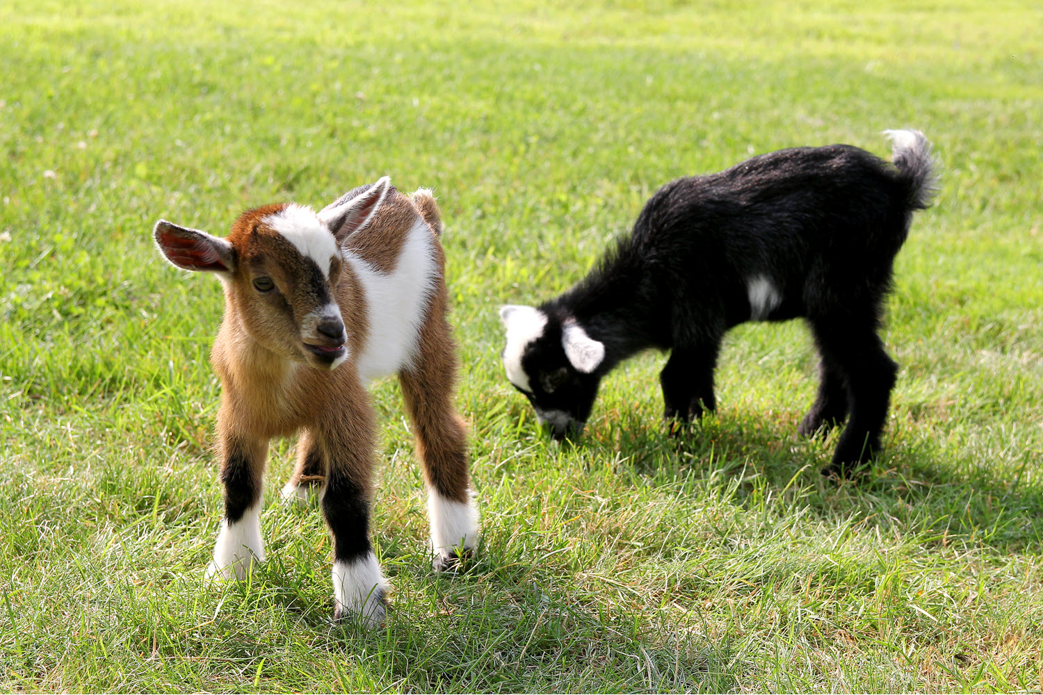 Young baby goats grazing on grass on a farm.