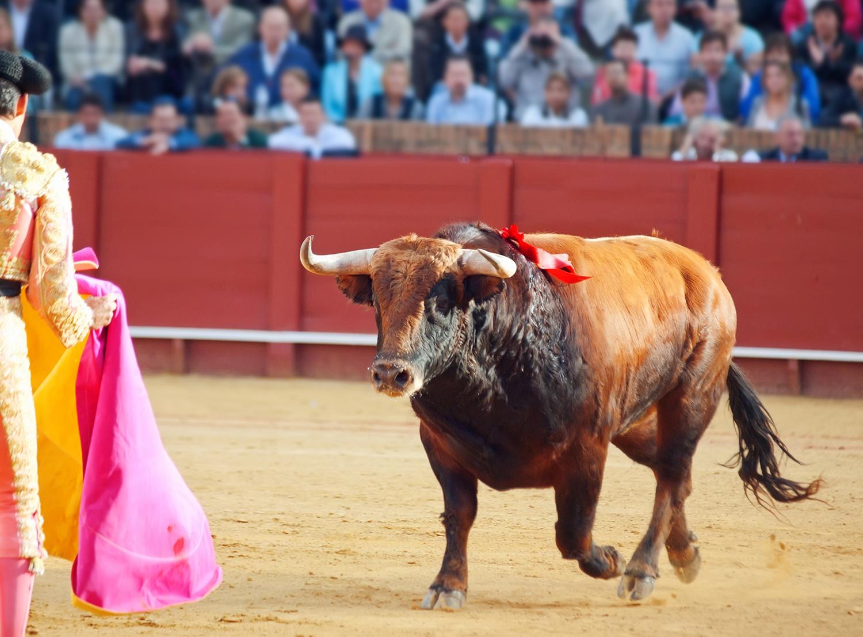Photo of a brown young bull running at matador in Sevilla, Spain.