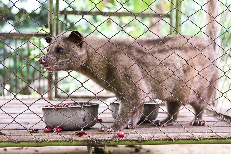 Civet cat eating coffee cherries to create fermented gourmet coffee.