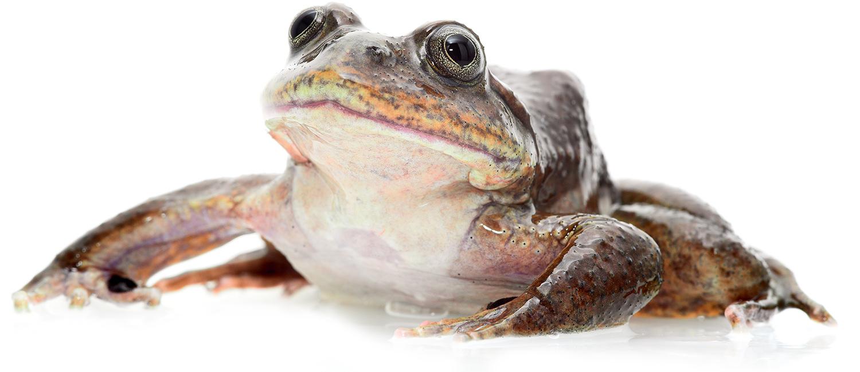 Telmatobius aquatic frog.