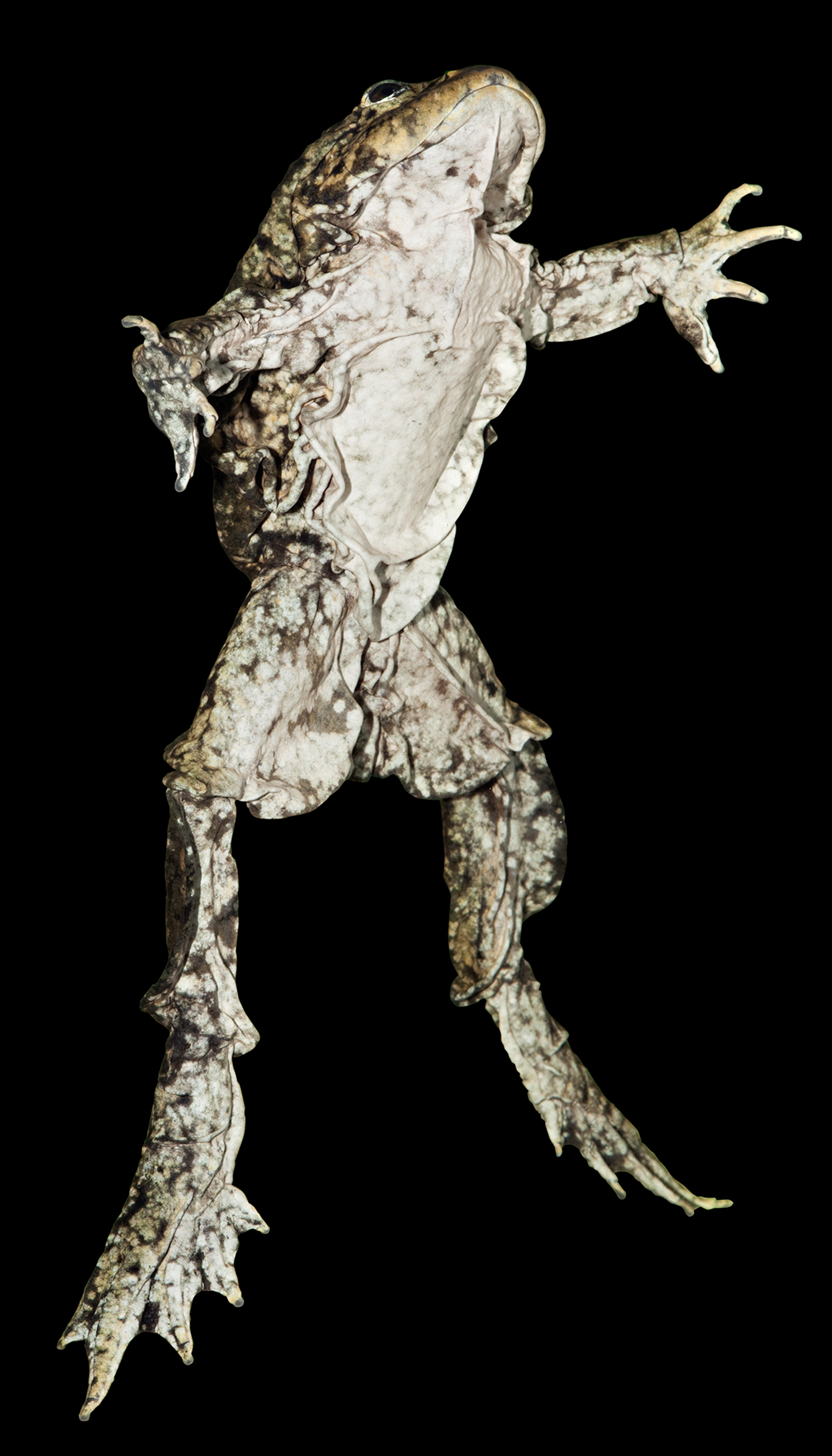 titicaca waterfrog