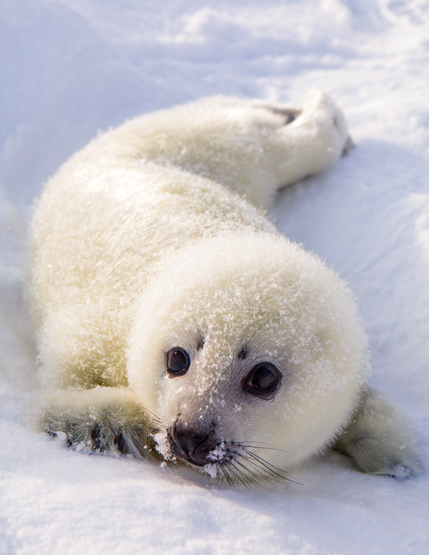 White Cub Greenland Seal. Also known as a Harp seal or saddleback seal.
